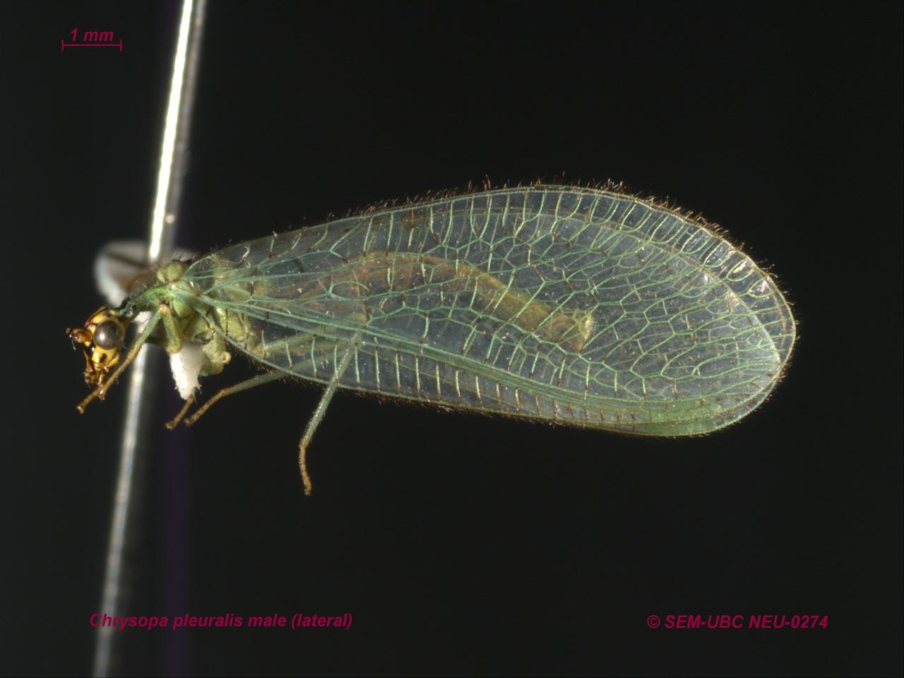 Bộ sưu tập côn trùng 2 - Page 24 Chrysopa%20pleuralis%20male%20(3lateral)