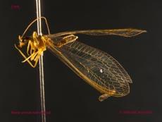Bộ sưu tập côn trùng 2 - Page 24 _Nineta%20gravida%20male%20(3lateral)%20