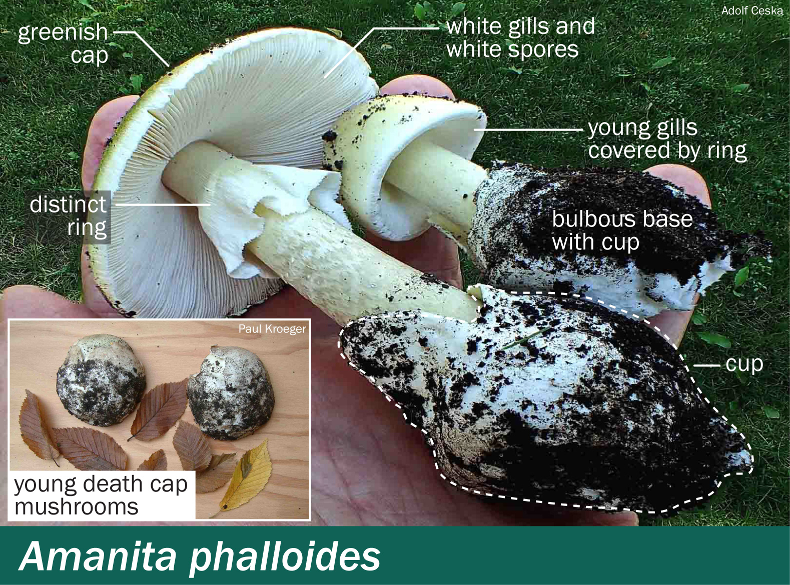 Amanita phalloides – Mushrooms Up! Edible and Poisonous Species of