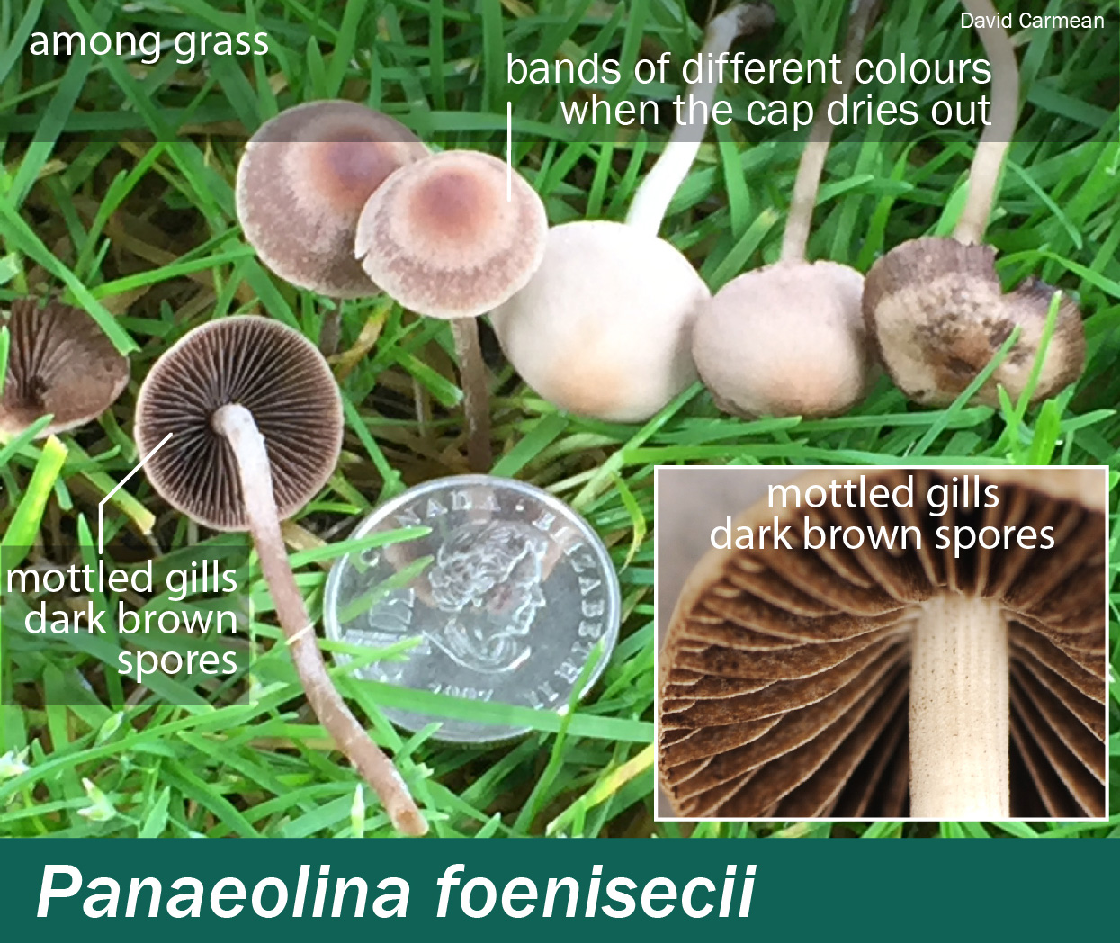 Panaeolina Foenisecii Mushrooms Up Edible And Poisonous Species Of Coastal Bc And The Pacific Northwest