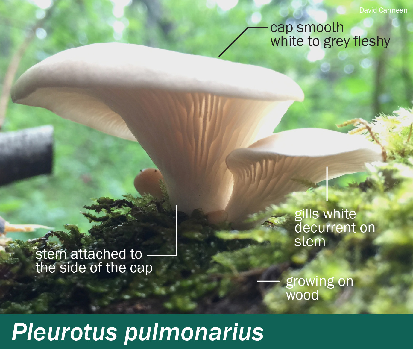 Pleurotus pulmonarius – Mushrooms Up! Edible and Poisonous Species